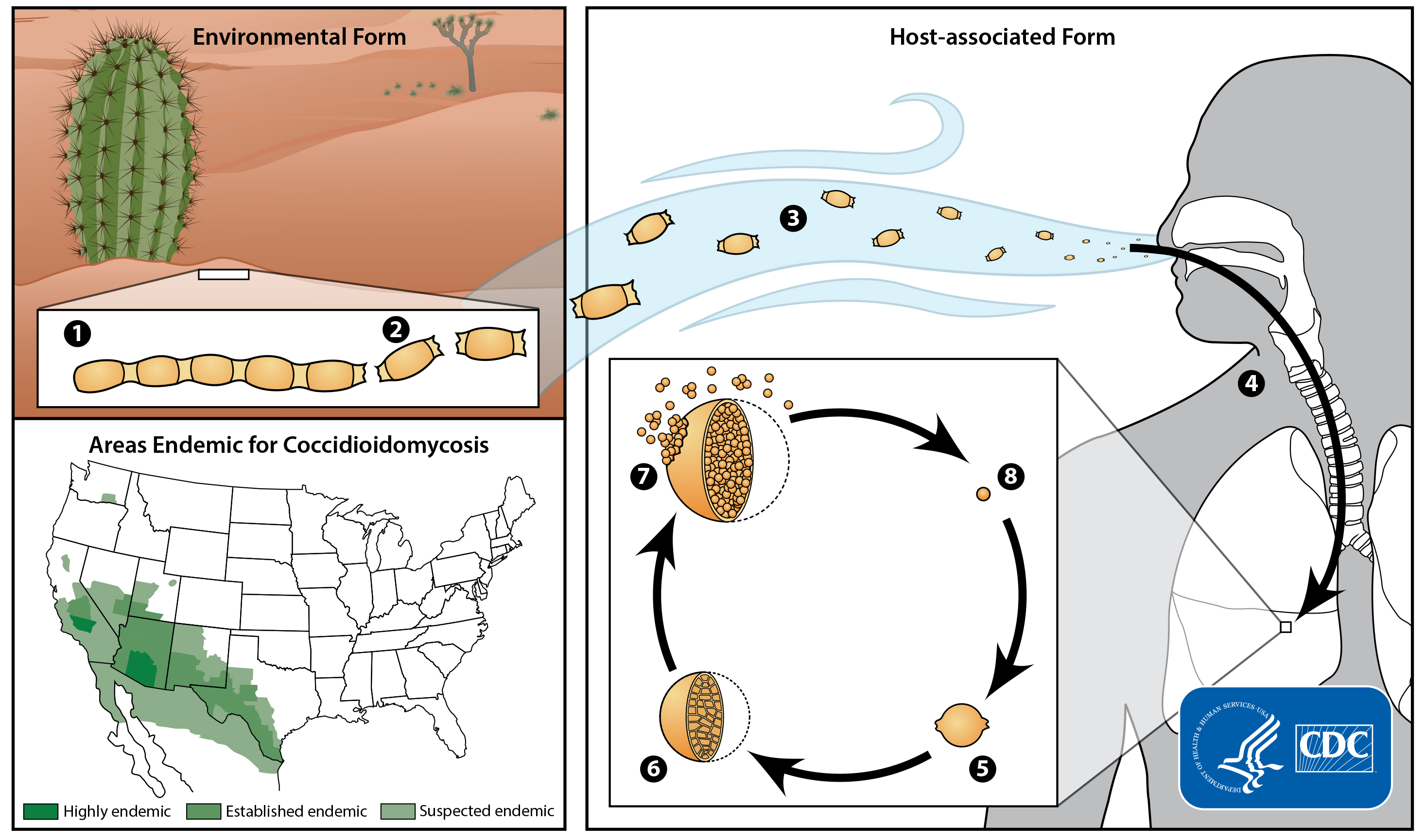 Image showing the lifecycle of the Coccidioides fungus and areas where it is common in the United States