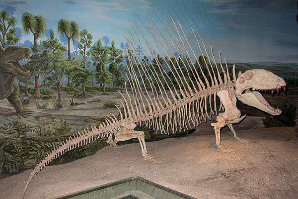 Dimetrodon skeleton. (Copyright © Abi Howe, American Geological Institute)