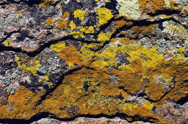 This rhyolite, which shows exfoliation shingles, is being attacked by lichens.