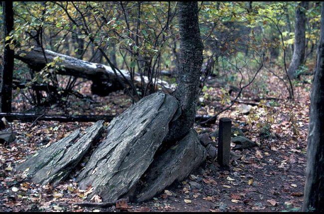 Tree splitting a rock apart in the Blue Ridge Mountains.