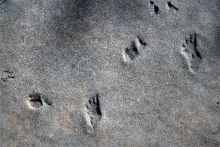 Permian-aged footprints in Utah's Hurricane Cliffs