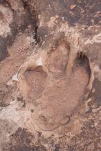 Dinosaur Track Outcrop in Moab Utah.