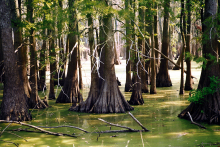 Cypress Swamp in Carbondale, IL